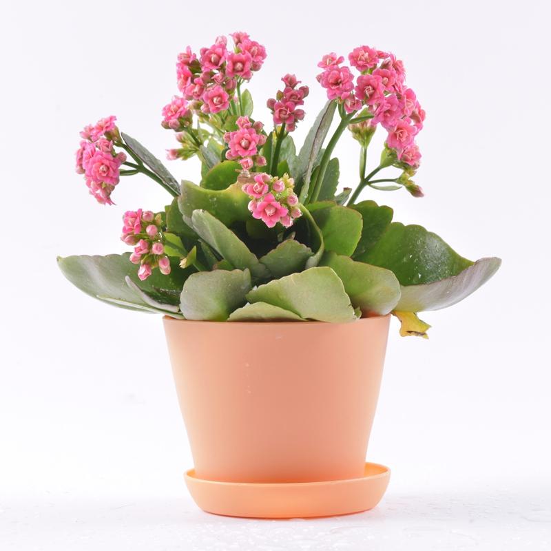 英茂花卉 粉红色长寿花盆栽 大吉大利长命百岁福寿吉庆 长辈生日最佳